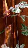 Porcelain Berry Vine ~ Ampelopsis brevipedunculata 'Elegans'