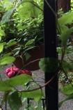 Varigated Honeysuckle ~ Lonicera japonica