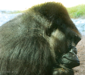 Mountain Gorilla (Silver Back)