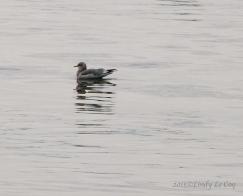 First winter Herring Gull