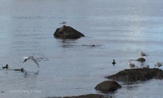 3 Harlequin Ducks & gulls
