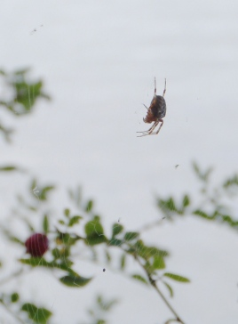 Spider (been here all week)