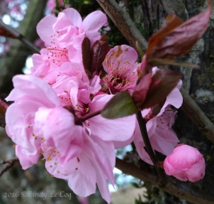 Double-flowered Plum