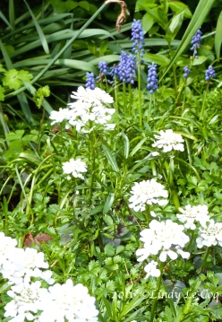 candytuft & grape hyacinth