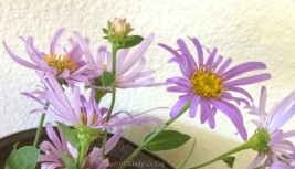 Aster frikarti 'Monch'