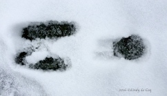Cottontail tracks.