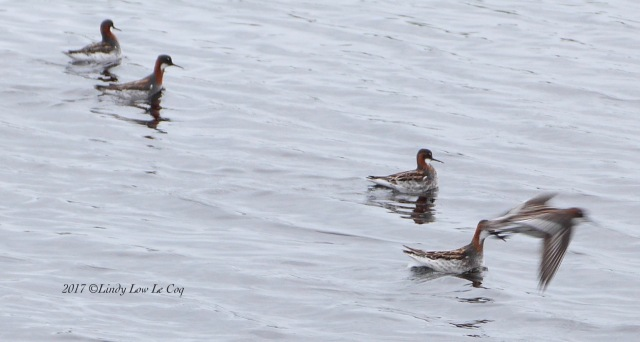 Red-necked. Phalarope group