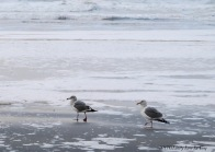 Ring-billed and California Gulls