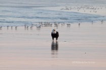 Bald Eagle on beach
