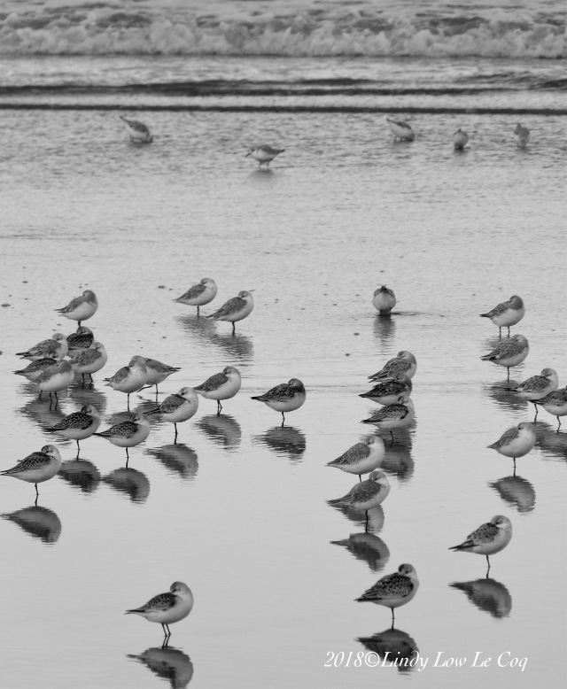 Sanderlings at Long Beach