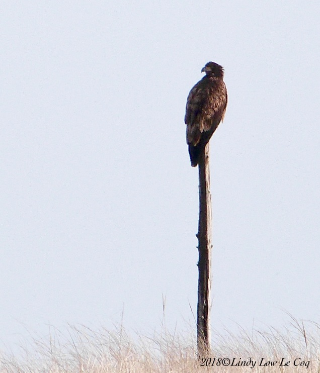 Bald Eagle - One Year