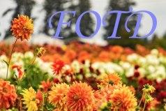 fotd-banner.jpg