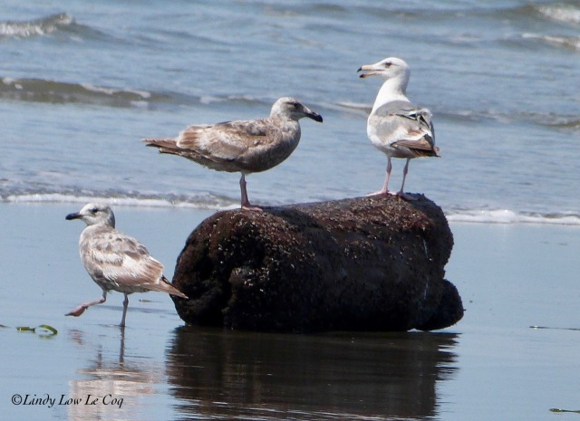 western gull 1st winter and 2nd winter plus juvenile Thayers