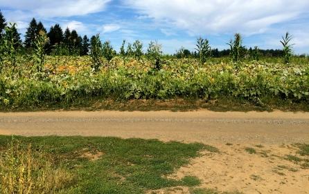 pumpkin and cornfield