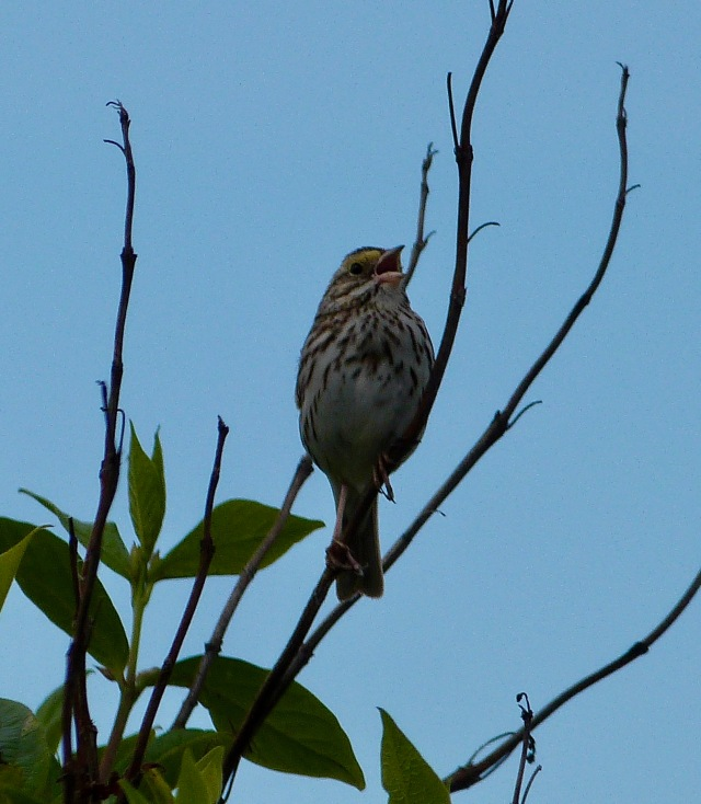 Savannah Sparrow May