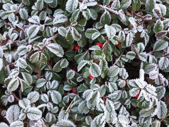 frosty kininkinnick