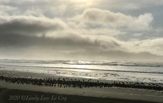 Sanderlings at Sunset 2