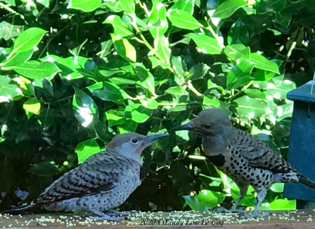 rs northern flicker