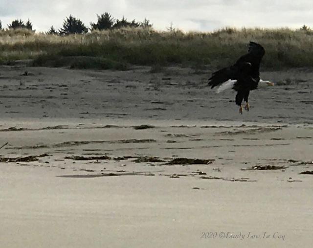 eagle lifts off